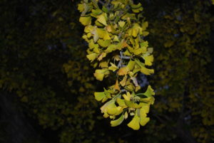 VCCA -- gingko at dusk
